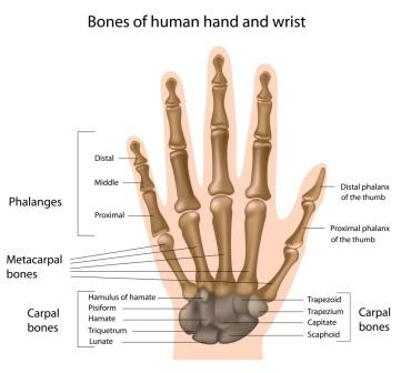 Wrist & Hand Anatomy Diagram
