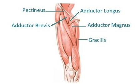 Adductor muscle diagram