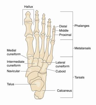 Little Toe Bones Diagram - Electrical Work Wiring Diagram •